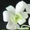 Orchid Homecoming Corsages at Washougal, WA Florist